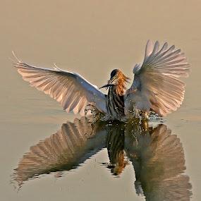 Pond Heron by Bob Khan - Animals Birds (  )