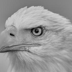 Bald Eagle by Ian Flear - Black & White Animals (  )