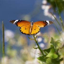 Butterfly by Yuval Shlomo - Animals Insects & Spiders ( butterfly )