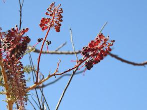 Photo: Day 5 - Grevillea benthamiana near Fergusson River