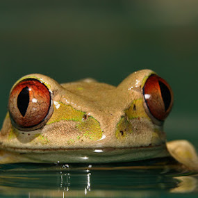 Sitting Pretty by David Knox-Whitehead - Animals Amphibians ( water, macro, red eyes, tree frogs, frogs, eyes,  )