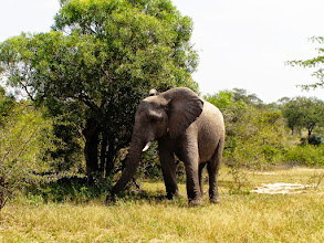 Photo: Elephant in Kruger NP
