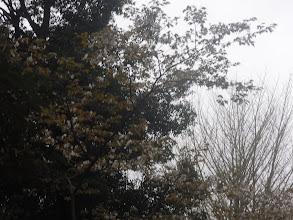 Photo: ちょっと葉桜だけど真上に桜の木で花が残っています。