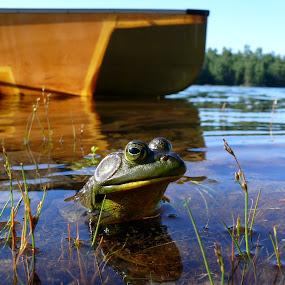 Bullfrog by James Rudick - Animals Amphibians ( animal portrait, frog, green, kermit, lake, ontario,  )