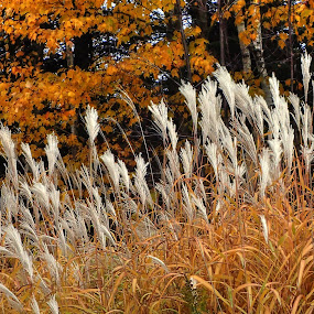 White tip weeds against golden reeds and leaves by Marilyn Magnuson - Nature Up Close Trees & Bushes ( golden reeds, white tipped golden reeds, pampas grass, fall forest, fall pampas grass, fall, reeds, golden leaves )