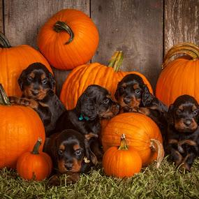 Puppies & pumpkins. by Christine Lester-Deats - Public Holidays Halloween ( gordon setter, puppies, pwcpumpkins-dq, pumpkins, fall, halloween )