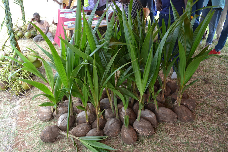 Kilifi to import 30,000 hybrid coconut seedlings from India