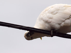 Photo: Sulfur-crested Cockatoo drinking rain from Transact cable