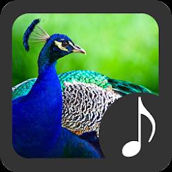 Peacock Sounds