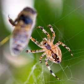 Hungry spider by IansLense . - Animals Insects & Spiders ( spider, spider web )