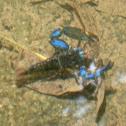 Fresh Water Shrimp