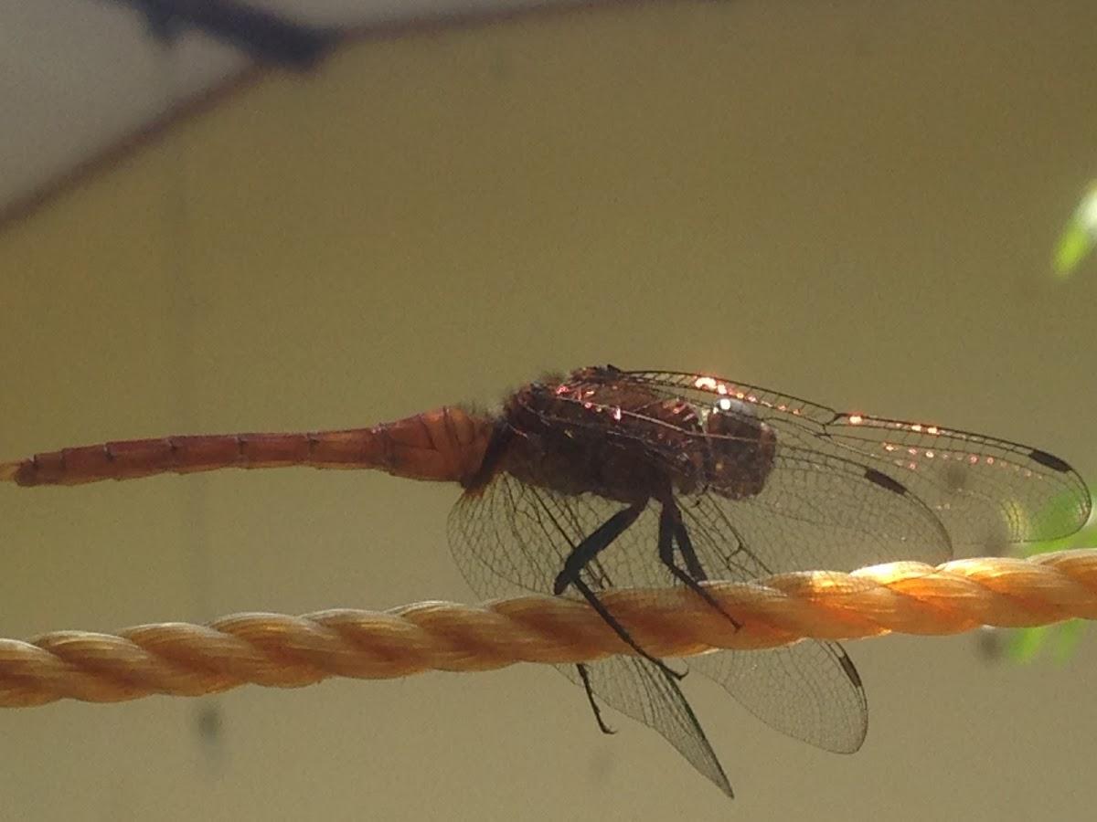 Fiery Skimmer (male)