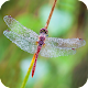 Dragonfly Wallpaper APK