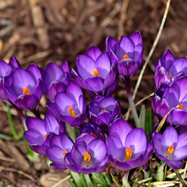 Purple Crocus  by Tony Huffaker - Flowers Flower Gardens ( purple, crocus, flowers, garden, spring )