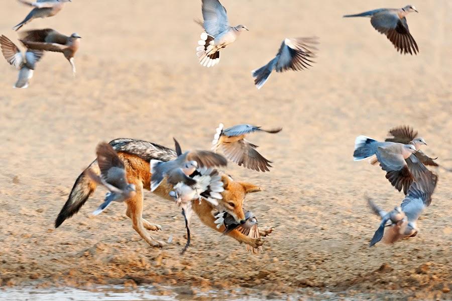 Gotcha! by Johan Mocke - Animals Other Mammals ( catch, action, wildlife, jackal, dove )