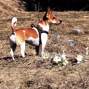 my girl by Renata Peterman - Animals - Dogs Portraits ( spring flowers, jack russell, sunny day, dog, spring )