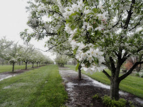 Photo: Apple blossoms in the rain at Cox Arboretum in Dayton, Ohio.