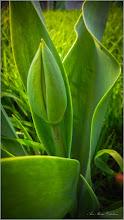 Photo: Lalea (Tulipa)  - din Turda, Str. Salinelor, Nr.15 - 2019.04.05