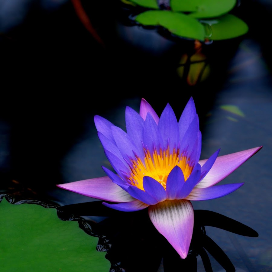 Water Lily by Ryan Zack - Instagram & Mobile iPhone