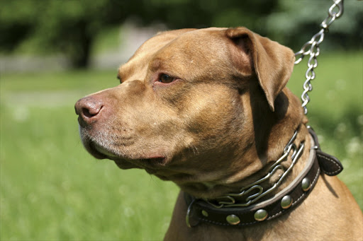 Pitbull with chain on its neck - Stock image