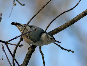 Photo: A White-breasted Nuthatch for #BirdPoker : Winter Birds curated by +Phil Armishaw