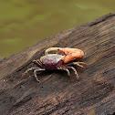 Cangrejo violinista (Fiddler crab)