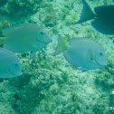 Atlantic Blue Tang (Surgeonfish)
