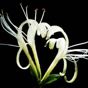 Like a heart! by Manuela Dedić - Nature Up Close Flowers - 2011-2013 ( heart, nature, white, flower, black, , color, colors, landscape, portrait, object, filter forge )