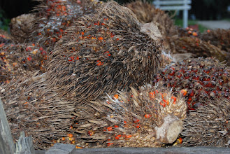 Photo: Palm Oil is made from the red areas in the Palm fruit