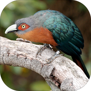 Cuckoo Bird Sounds Android Apps On Google Play