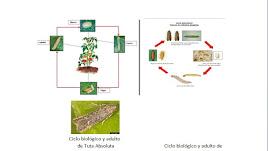 Similitud en el ciclo biológico, tamaño y forma entre tutta y ephestia.