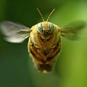 Bee autiful portrait by Yoce Mocodompis - Animals Insects & Spiders (  )