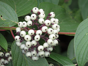 Photo: 13 Aug 13 Priorslee Lake: Berries are beginning to appear: another herald of Autumn. This seems to be a Viburnum sp. and I suspect a planted shrub rather than wild. (Ed Wilson)