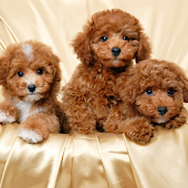 Toy Poodle Dogs Wallpapers