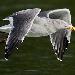 00 Seagull 99944~Q.jpg
