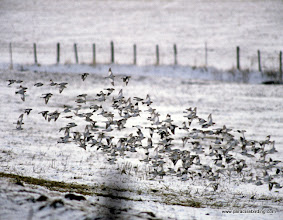 Photo: One of the swirling flocks of Wallowa Valley Snow Buntings