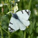 Eastern Dappled White