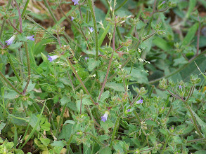 Photo: Campanula erinus