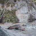 Kekeno / New Zealand fur seal