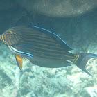 Blue-lined Surgeonfish