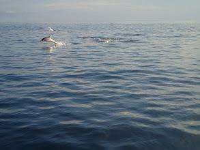 Photo: Dolphins in Savusavu Bay