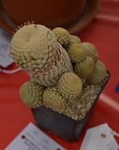 Photo: Euphorbia piscidermis 3rd place