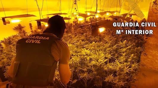 Intervienen más de medio millar de plantas de marihuana en cuatro viviendas