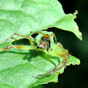 Yellow-lined Epeus Spider