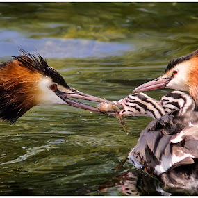 GREBE - Feeding in WILD by Michael Michael - Animals Birds (  )