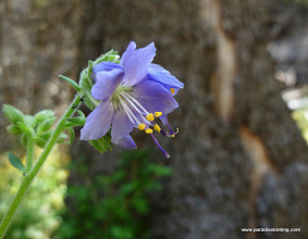 Photo: Unidentified blue flower, maybe Hydrophyllaceae. Black PIne Spring.