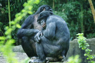 Photo: Two bonobos cuddle together