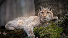 Forest of the Lynx thumbnail