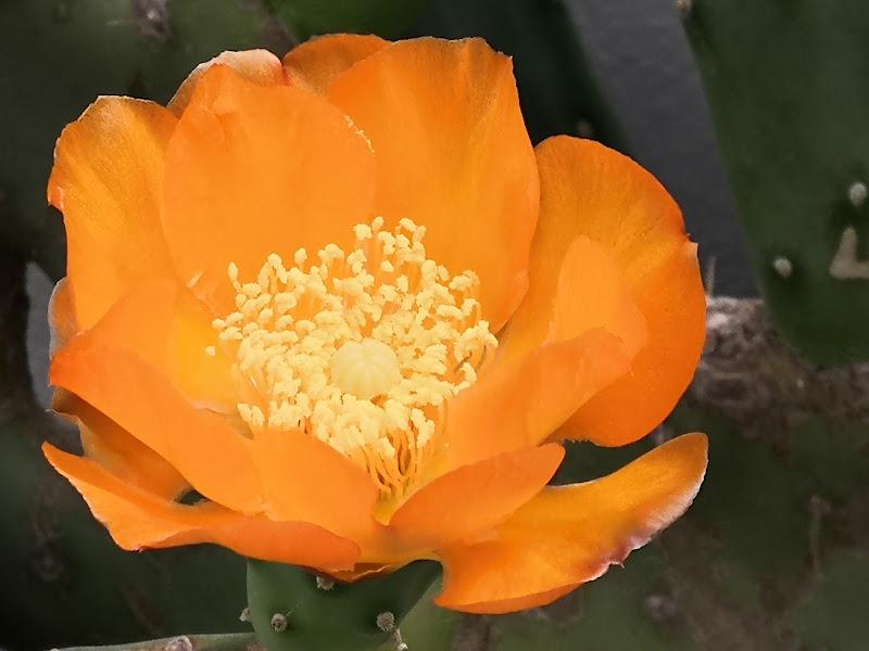 .Fiore del cactus di patsie_1506
