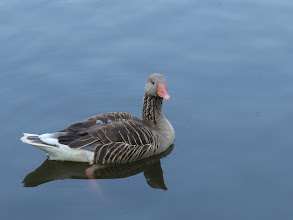 Photo: 8 Jul 13 Priorslee Flash: Pleasing portrait of a Greylag Goose: the strength of the neck-marking is very dependent on the angle of the light. (Ed Wilson)